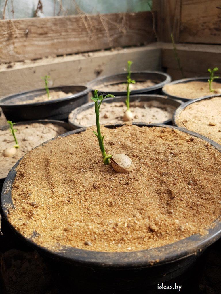 Выращивание гинкго билоба из семян 20