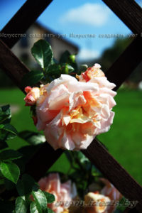 роза шпалера-rosa