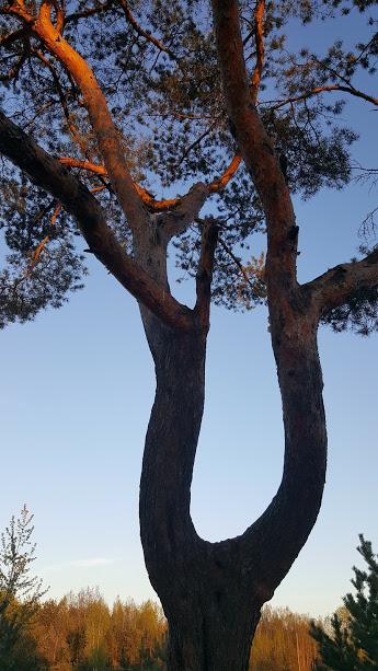дерево жизни-сосна