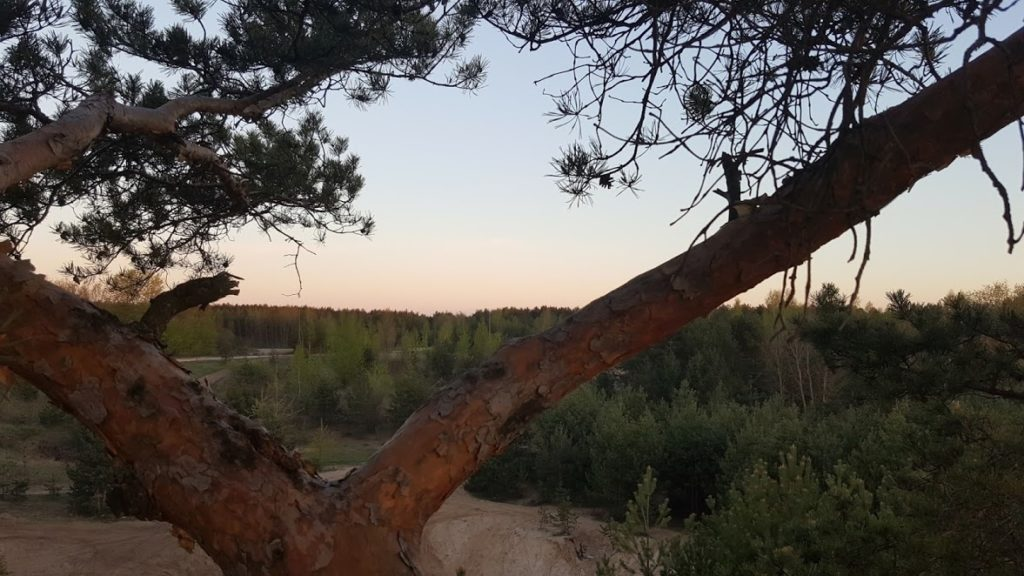 дерево моей жизни-СОСНА