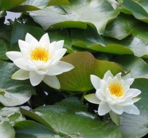 Кувшинка-нимфея-водяная лилия, полезная статья по уходу, хранению